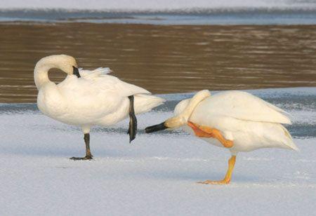 Yellowstone Leucistic Swan