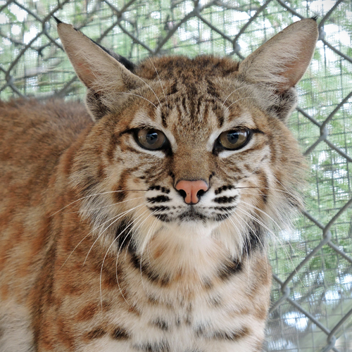 Dizzy the Bobcat Becomes a Foster Mother