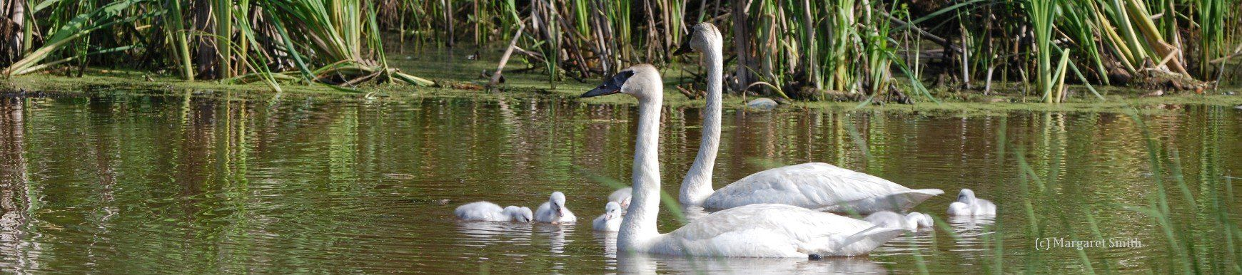 Your tax deductible donation will fund a Trumpeter swan sighting for reporting