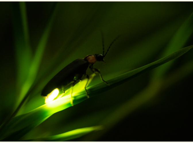 Lightning Bugs with Allegheny Parks
