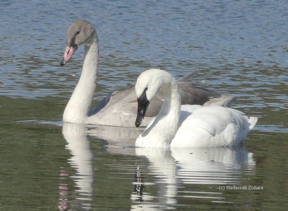By fall, the cygnets are nearly as large as the adults