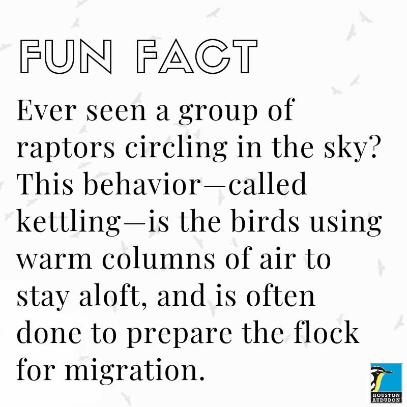 Raptors kettling fun fact