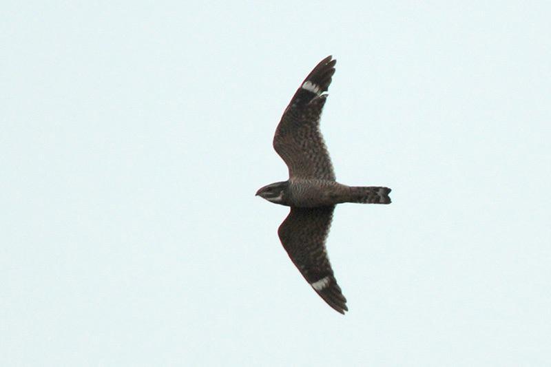 Lesser Nighthawk