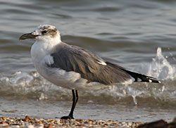Franklin's Gull (adult nonbreeding plumage)