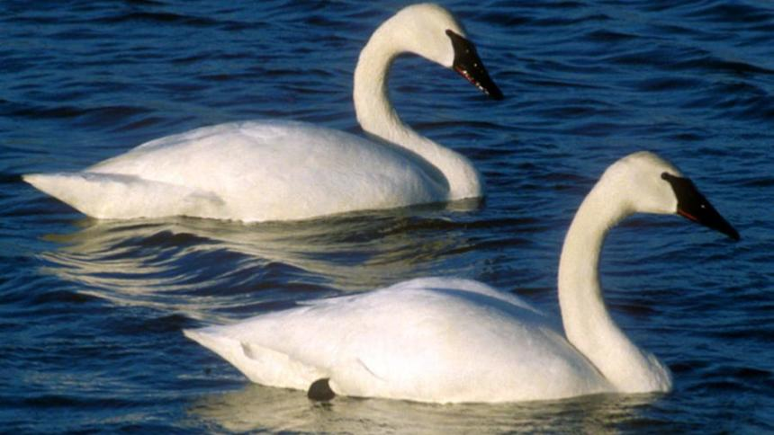 BLANE KLEMEK COLUMN: Trumpeter swans: Beauty and grace in Minnesota