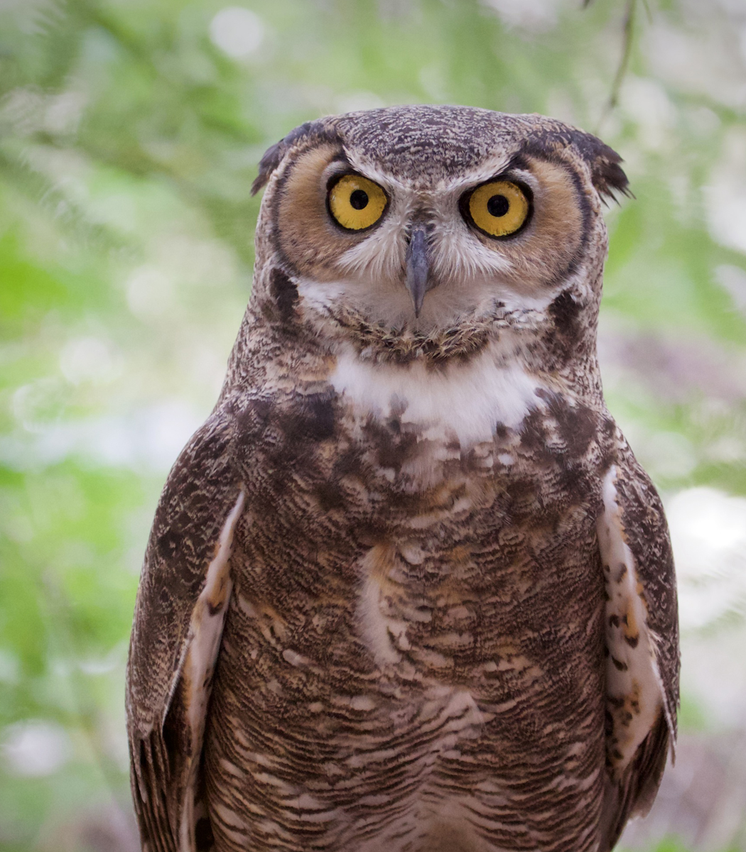Moccasin Great Horned Owl