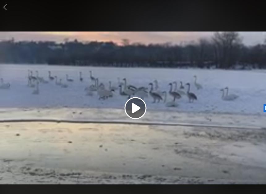 """Swan Smorgasbord"" of behavior- a minute video"
