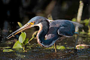 Beak of the Week: Tricolored Heron