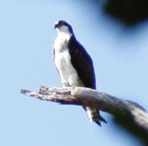 Osprey at Edith Moore