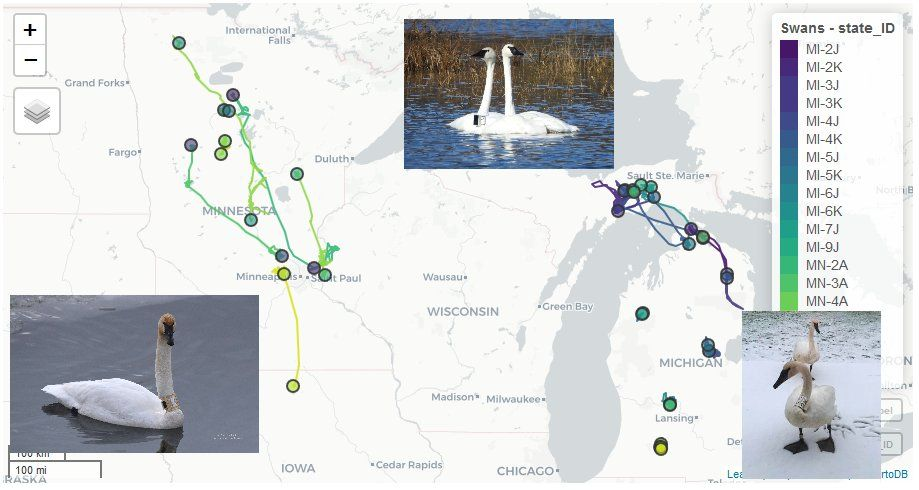 Tracking Midwest Trumpeter Swans
