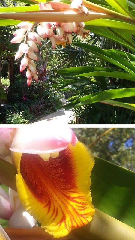 Shell Flower Ginger