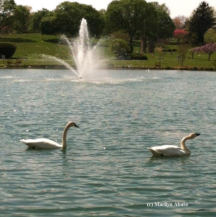My Swan Story - by Marilyn A.