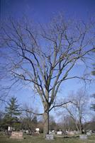"""Black Walnut Pack of 5 Seedlings (12""""-18"""")"""