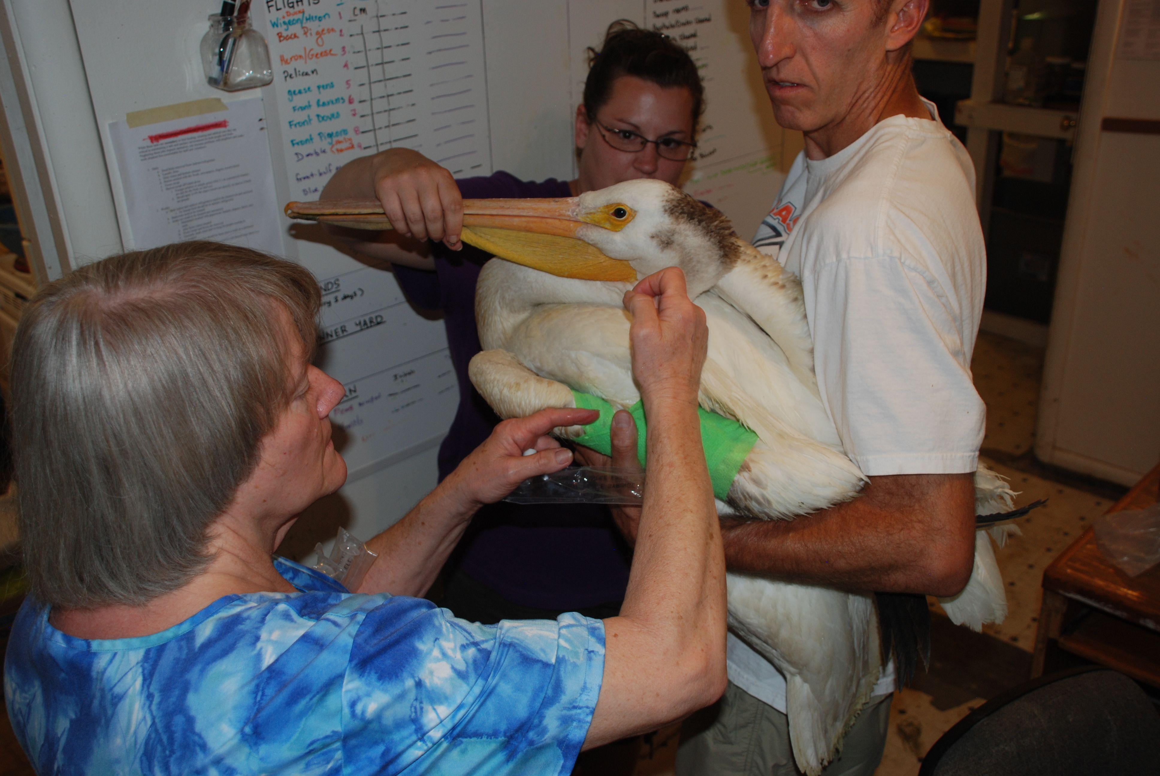 Bandaging a Pelican