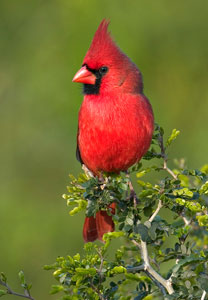 Christmas Bird Counts Start December 14