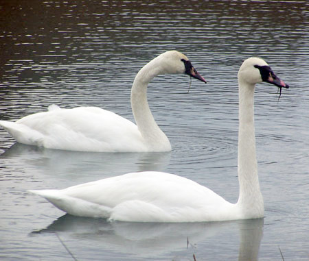 Tundra Swan x Mute Swan - Kentucky area, observed in the wild.
