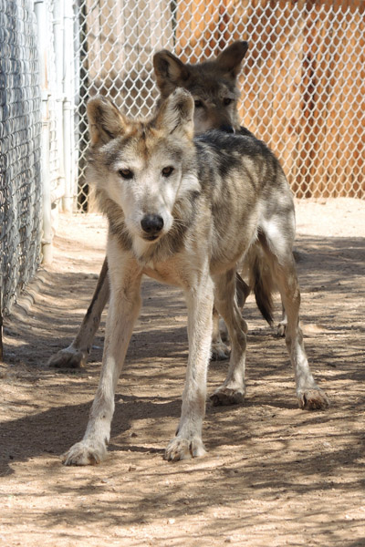 M1019 Wild Bill Mexican Gray Wolf Southwest Wildlife Scottsdale Arizona Photo by Carol A. Urban