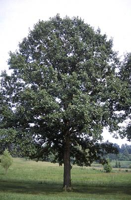 """Swamp White Oak Pack of 5 Seedlings (12""""-18"""")"""