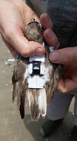 A Wilson's Plover is fitted with a tracking device. The piece of cardboard under the device  is removed after the super glue is dry.