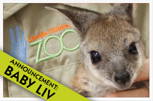 Baby Wallaby - Liv