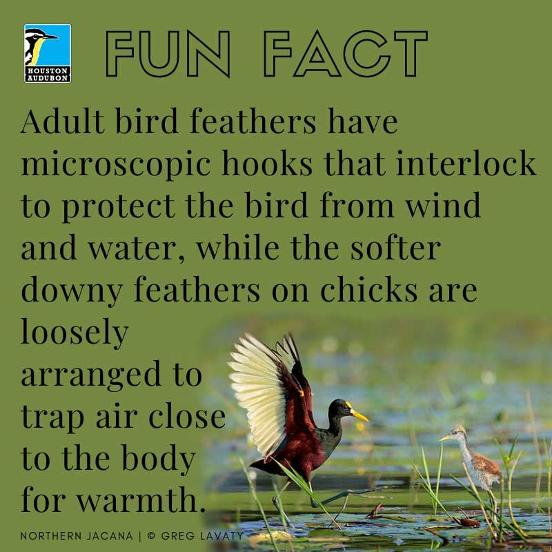 Fun fact about bird feathers