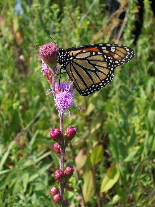 Monarch Butterfly Tagging Event