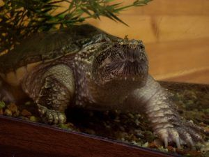 Mini and Aqua the Common Snapping Turtles