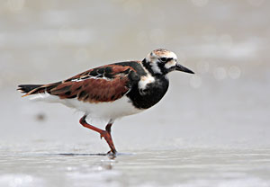 Beak of the Week: Ruddy Turnstone