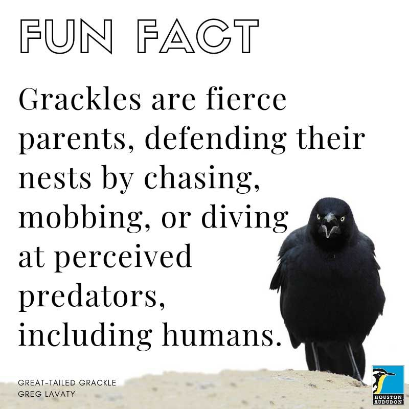 Fun fact about Great-tailed Grackle