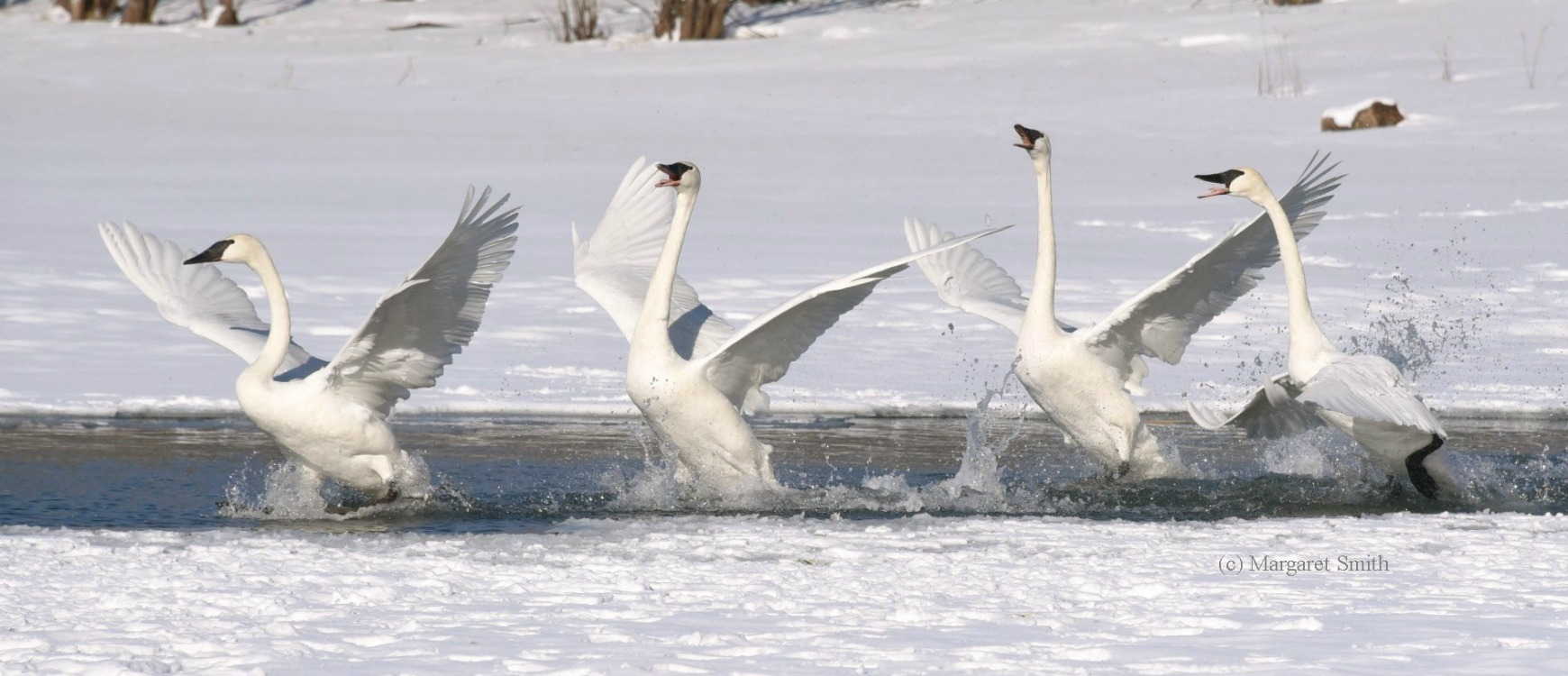 Swan question?