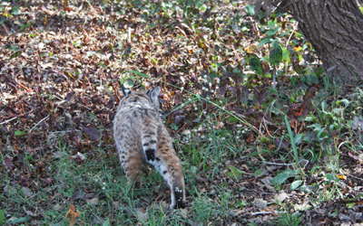 Bobcat rehabilitation and release Southwest Wildlife
