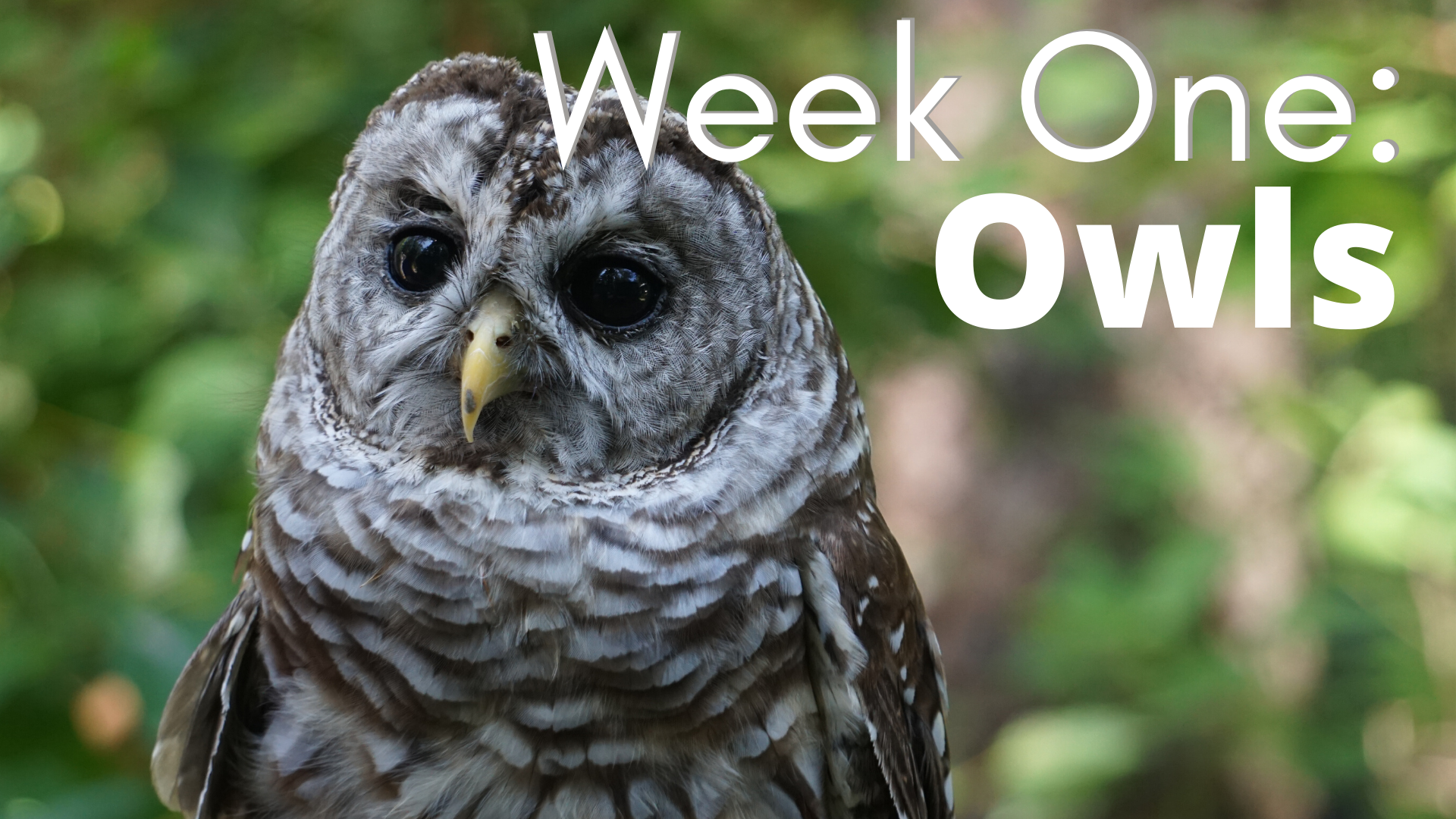 Week One: Owls