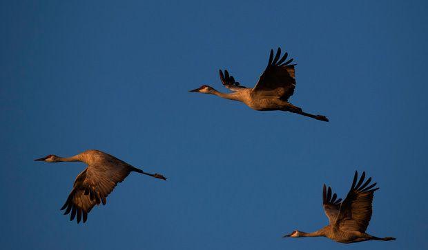 The Sandhill Cranes