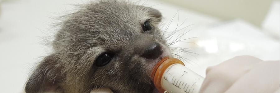 Gray fox kit Southwest Wildlife