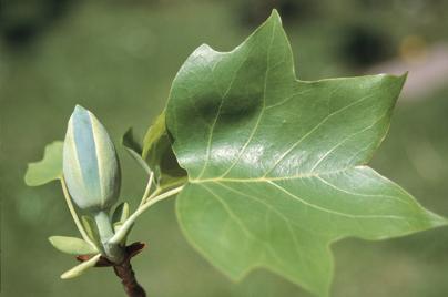 """Tuliptree - Pack of 100 Seedlings (6""""-12"""")"""