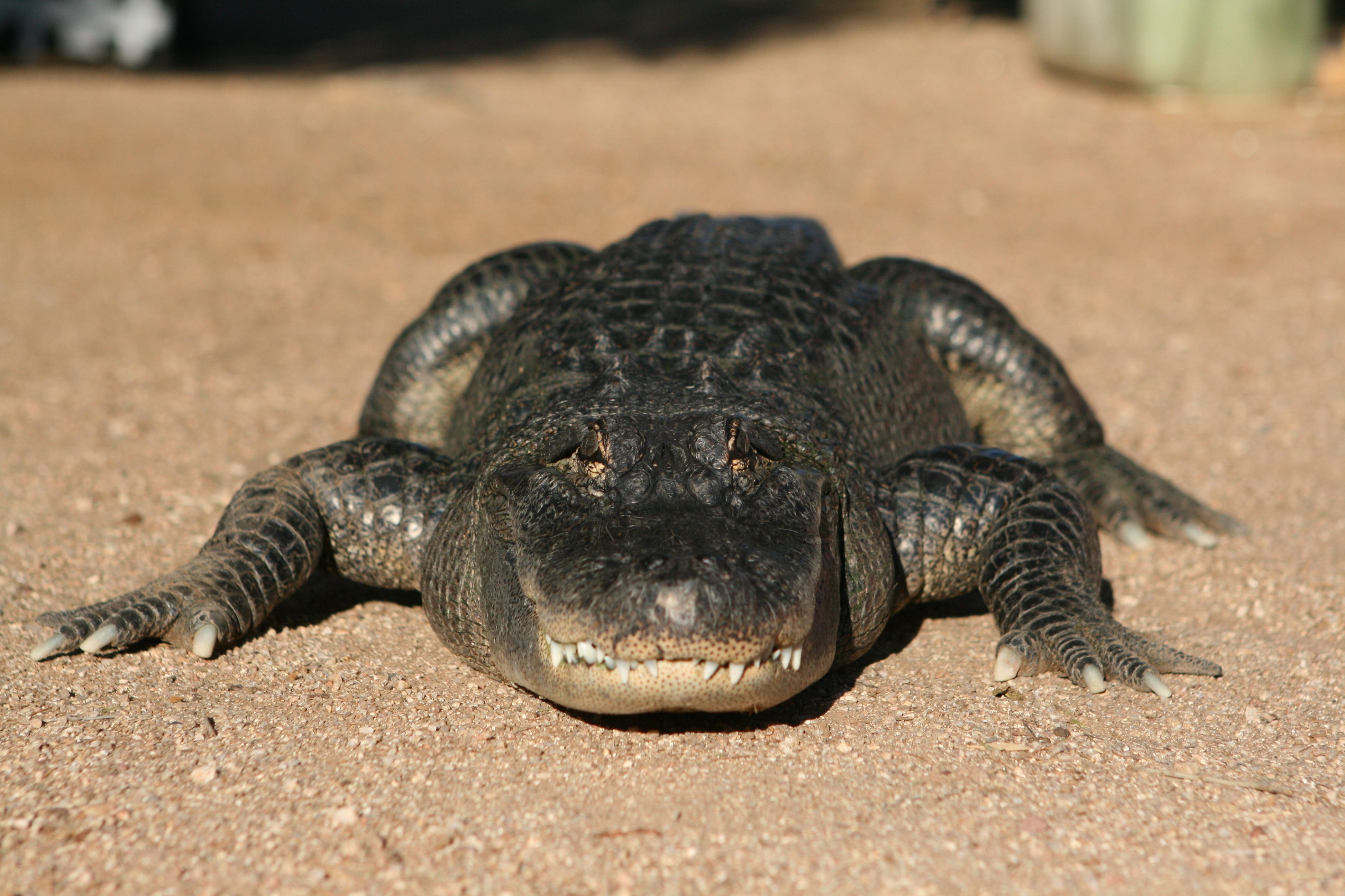 Crocodilian Teeth in a jar