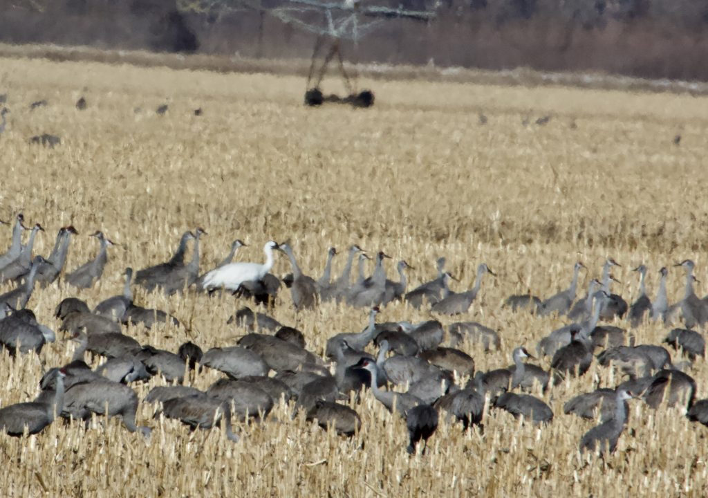 SANDHILL CRANE COUNTS – WEEK 4