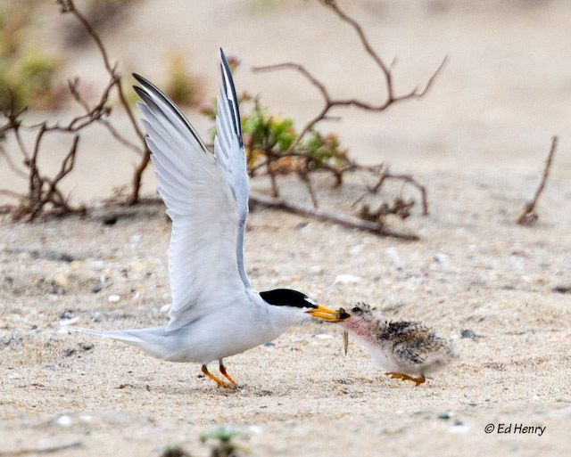 Endangered Least Terns Laid 160 Nests in Mission Bay this Year!