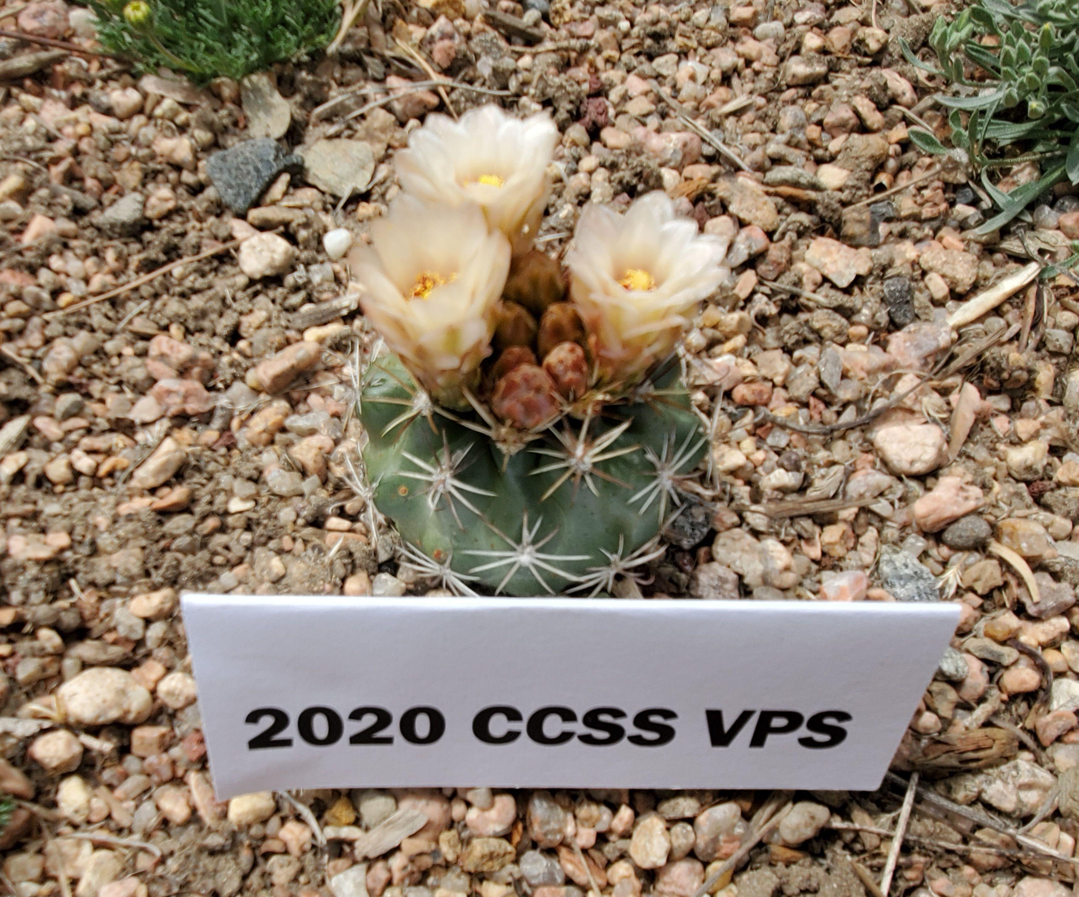 Sclercactus parviflorus