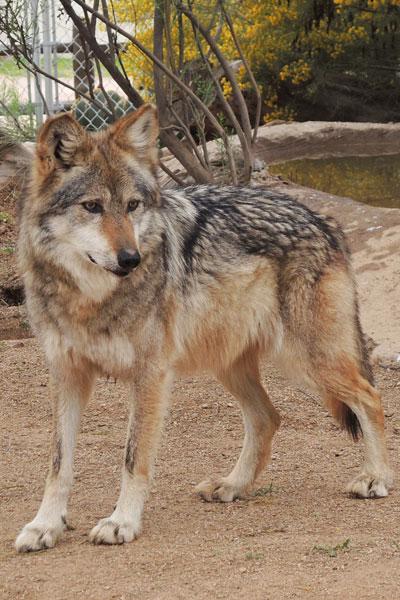 F891 Cholli Mexican Gray Wolf Southwest Wildlife Scottsdale Arizona