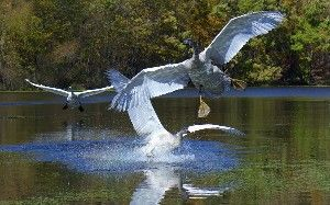 When do Trumpeter Swans learn to fly?