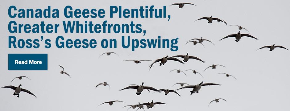 Delta Waterfowl Wallpaper Canada geese plentiful 8-12-14