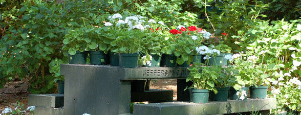 Geraniums on Bench