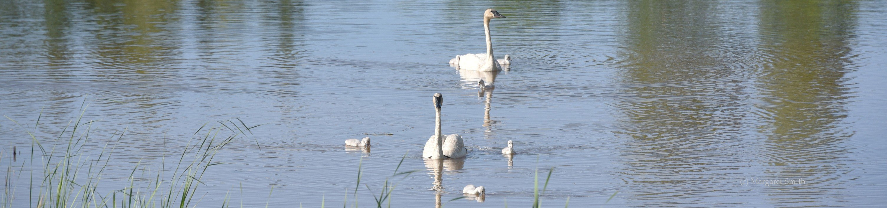 There is lots to learn about Trumpeter Swans in our Publications and Papers section