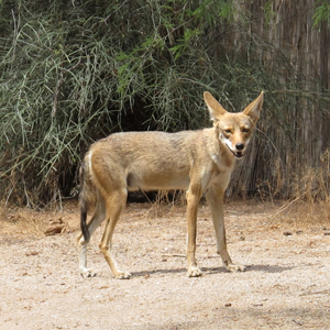 There is a coyote in my neighborhood. What do I do?