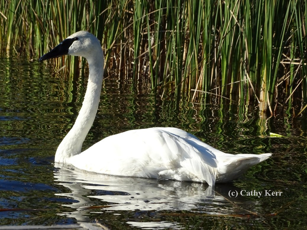 My Swan Story - by Cathy K.