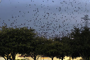 Purple Martin Migration Has Started