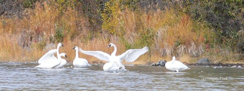 Share your swan story with the Trumpeter Swan Society