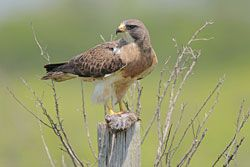 Beak of the Week: Swainson's Hawk