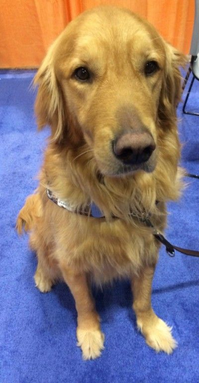 Photo of Finnegan, a golden retriever guide dog